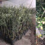 Xylella, la Regione autorizza l'impianto di nuove piante nella zona infetta